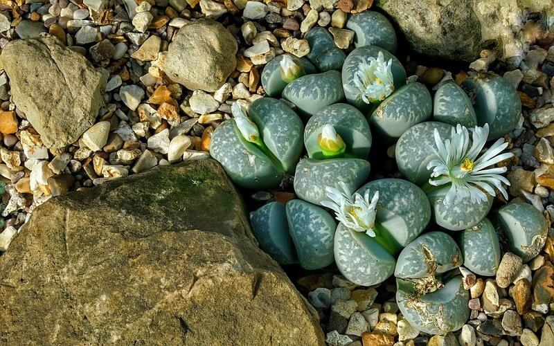 Planta crasa Lithops