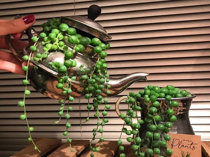 Planta suculenta colgante collar de perlas