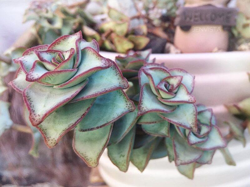 Planta Suculenta Crasula Perforata
