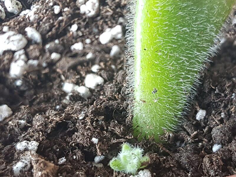 como sembrar hojas de suculentas