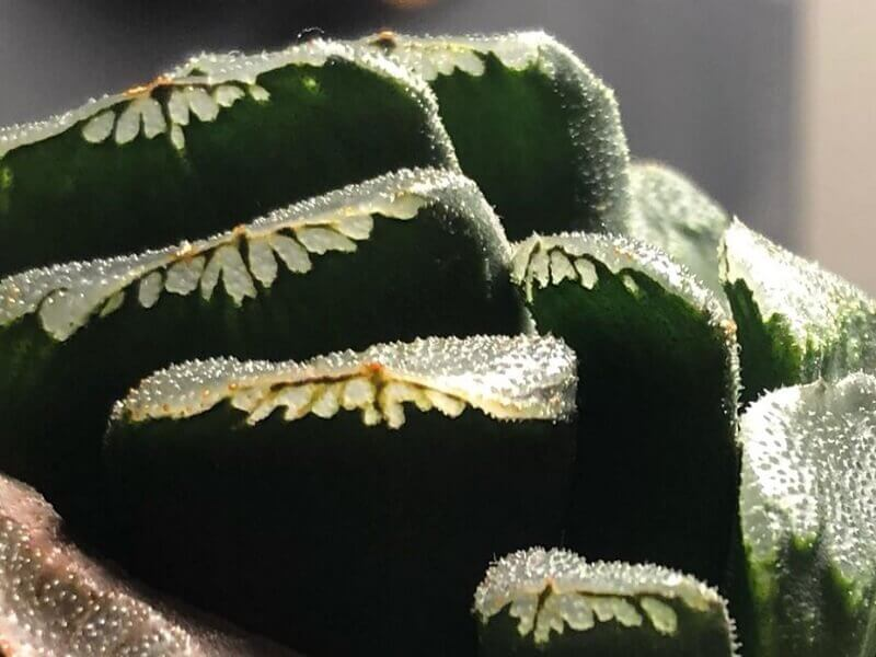 Planta Suculenta Haworthia Truncada-Llifle